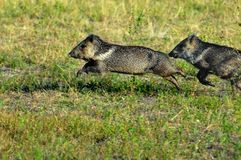 Collared peccaries leaping. Running, leaping collared peccary pair in Pantanal, Brazil Royalty Free Stock Photography