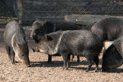 Collared peccaries Royalty Free Stock Image
