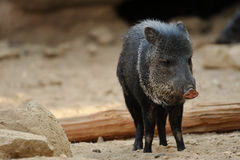 Collared Peccary Royalty Free Stock Photos