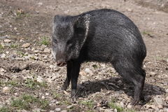 Collared peccary. The Collared Peccary (Pecari tajacu) is a species of mammal in the family Tayassuidae that is found in North, Central, and South America. They Royalty Free Stock Image