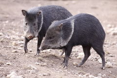 Collared peccary. The couple of collared peccaries Stock Image
