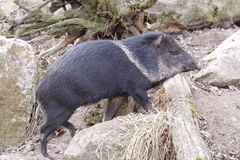 Collared peccary. The collared peccary ((Pecari tajacu) overstepping the obstacle Royalty Free Stock Images