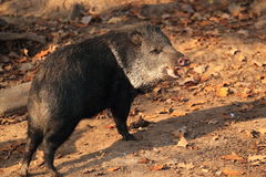 Collared peccary Stock Image