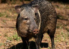Collared peccary Royalty Free Stock Photo