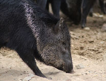 Collared peccary close Royalty Free Stock Photo