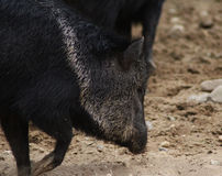 Collared peccary close Stock Images
