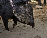 Collared peccary close Royalty Free Stock Photography