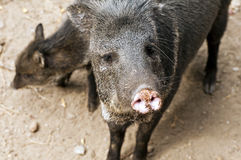 Collared peccary Stock Photo
