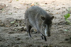 Collared Peccary. Royalty Free Stock Photo