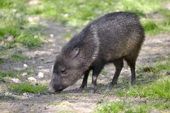 Collared Peccary on grass Royalty Free Stock Photo