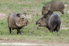 Collared peccary group Stock Image