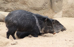 Collared peccary Stock Photos