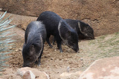 Collared peccary group Royalty Free Stock Photos
