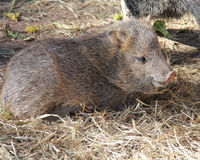 Collared peccary. Or javelina baby resting on the ground Royalty Free Stock Photography