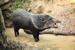 Collared peccary known as wild pig in the mud roars.  Royalty Free Stock Photo