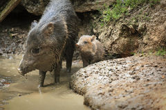 Collared peccary known as wild pig with a wild pig cub in mud.  Stock Images