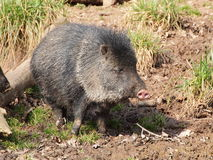 Collared peccary on mud Stock Photography