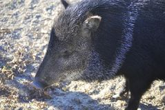 Collared peccary, or Pecari tajacu Stock Images