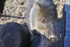 Collared peccary, or Pecari tajacu Royalty Free Stock Photography