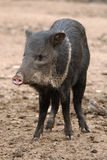 Collared peccary Stock Images