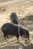 Collared Peccary (Pecari tajacu) Royalty Free Stock Image