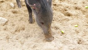 Collared peccary pecari tajacu wild pig animals eating and digging. In crowd closeup stock video footage
