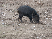 Collared peccary Pecari tajacu. Wildlife animal Stock Photo