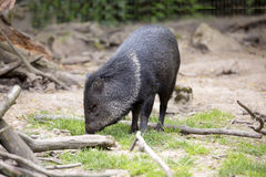 Collared peccary, Pekari tajacu, is among the most common species of peccary Stock Photo