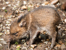 Collared peccary piglet Stock Photography