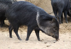 Collared peccary potrait Stock Photo