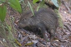 Collared Peccary in the Rain Forest Royalty Free Stock Images