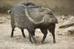 Collared peccary rub against each other. A collared peccary or javelina that has been rooting in the dirt with its nose. Collared peccaries are pig-like animals Royalty Free Stock Photos