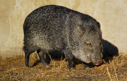 Collared Peccary (Tayassu tajacu) Stock Images