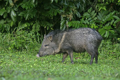 Collared peccary, Tayassu tajacu Stock Photo