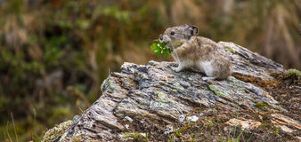 Collared Pike. Panoramic Composition Of Small Collared Pika Atop A Rocky Outcropping With Fodder In Its Mouth Near The Savage River Loop Trail, Denali National Royalty Free Stock Image