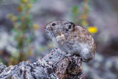 Collared Pike. Small Collared Pika On Guard Atop A Rocky Outcropping Near The Savage River Loop Trail, Denali National Park, Alaska Royalty Free Stock Photography