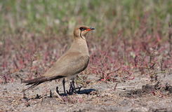 Collared Pratincole. Nesting on land in dry areas of Danube Delta. Photo taken on June 2010 Royalty Free Stock Image