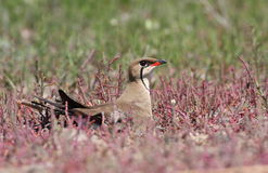 Collared pratincole Stock Photos