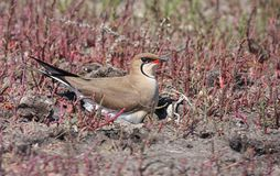 Collared pratincole Royalty Free Stock Photos