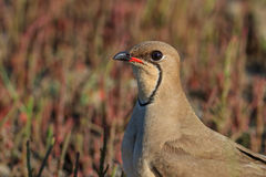 Collared pratincole. Close up collared pratincole. Danube Delta, Romania Royalty Free Stock Image