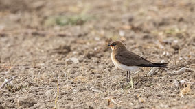 Collared Pratincole in the field Royalty Free Stock Photo