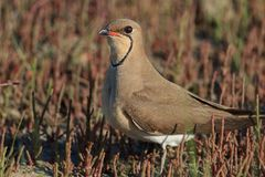 Collared Pratincole. (Glareola pratincola) in the Danube Delta, Romania Stock Photo
