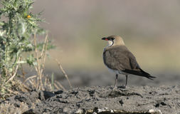 Collared pratincole, Glareola pratincola. On ground Stock Photo