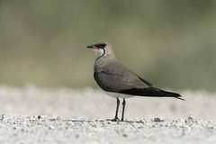 Collared pratincole, Glareola pratincola. On ground Stock Photography