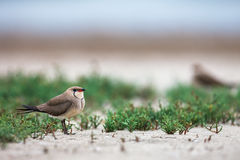 Collared pratincole Stock Images