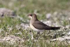 Collared pratincole, Glareola pratincola Royalty Free Stock Image