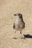 Collared Pratincole Royalty Free Stock Photography
