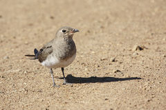Collared Pratincole Royalty Free Stock Images