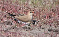 Collared Pratincole on nest. Collared Pratincole standing on nest with eggs Royalty Free Stock Photography