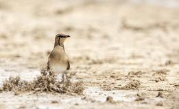 Collared Pratincole in Swamp Stock Images